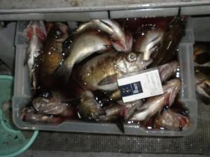 メバル(夜釣り)-広島遊漁船海斗