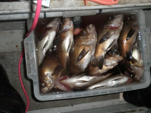 大メバル-広島遊漁船海斗