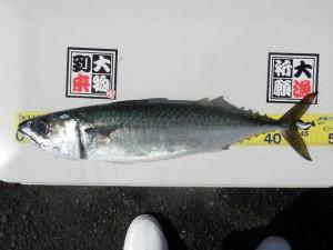 サバ-広島遊漁船海斗