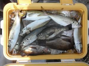 アジ・メバル-広島遊漁船海斗