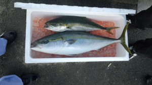 ブリ・ハマチ-広島遊漁船海斗