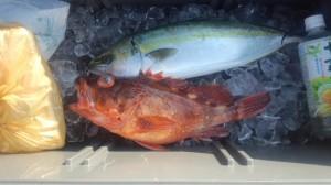 ヤズ・ホゴメバル-広島遊漁船海斗