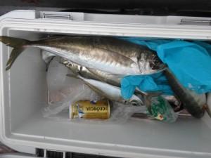大アジ-広島遊漁船海斗