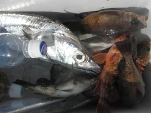 メバル・タチウオ-広島遊漁船海斗