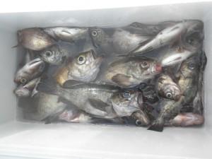 メバル-広島遊漁船海斗