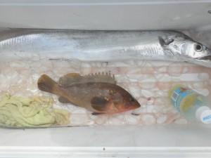 タチウオ・アコウ-広島遊漁船海斗