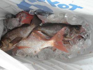 タイ・メバル-広島遊漁船海斗