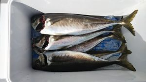 アジ-広島遊漁船海斗