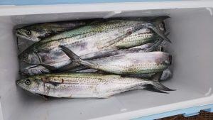 サワラ・サゴシ-広島遊漁船海斗