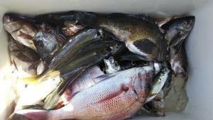 メバル・タイ-広島遊漁船海斗