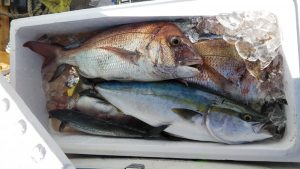 タイ・ハマチ-広島遊漁船海斗