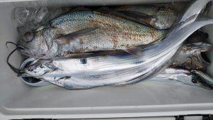 クログチ・タチウオ-広島遊漁船海斗