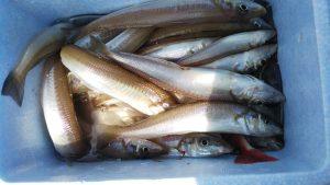 キスゴ-広島遊漁船海斗