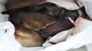 ウマズラハギ―広島遊漁船海斗